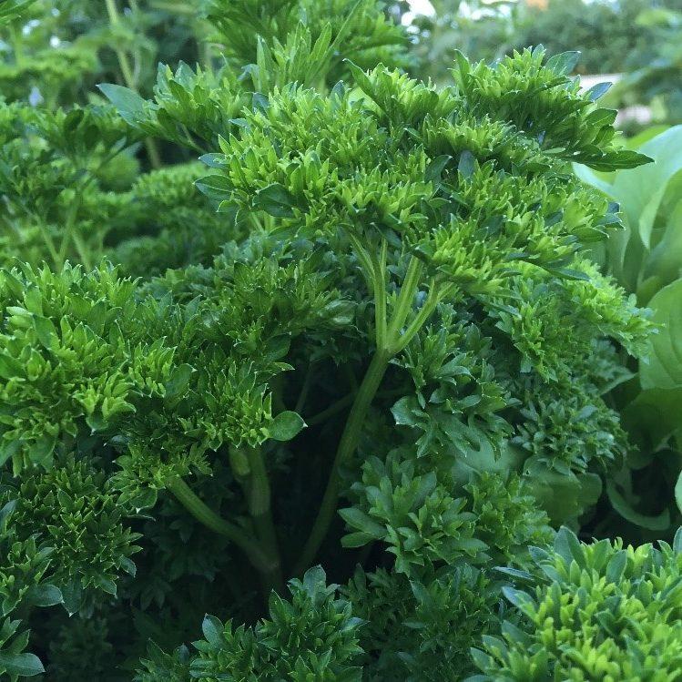 Persilja soveltuu viljeltäväksi avomaalla ja siitä löytyy kähärä- ja sileälehtisiä lajikkeita.